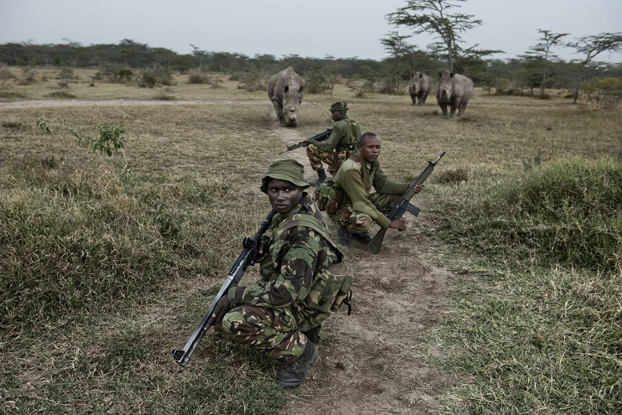 Three of the last seven Northern White rhinos left in the world follow the Kenya Police Reserve who protect them, as they head out on their daily evening patrol. Photo: Kate Brooks.